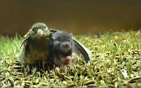 birdrodent