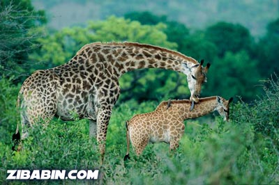 giraffeandbaby