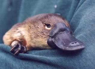 cute PLAtypus