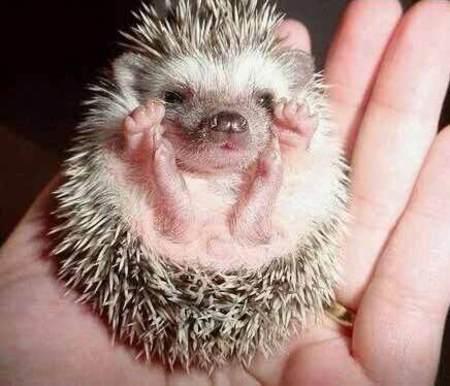 babyhedgehog_1-4235-1-_tplq