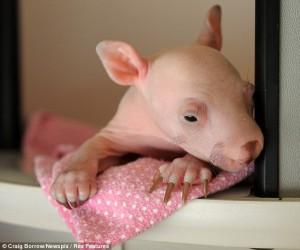 baby-wombat-2