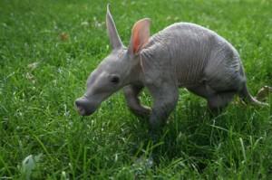 baby_aardvark