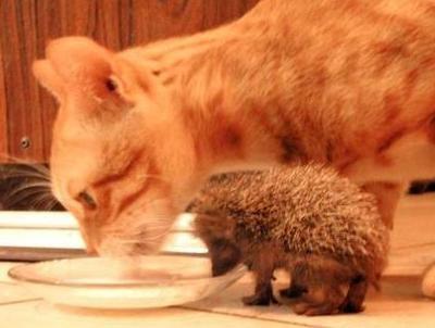 hedgehogcat