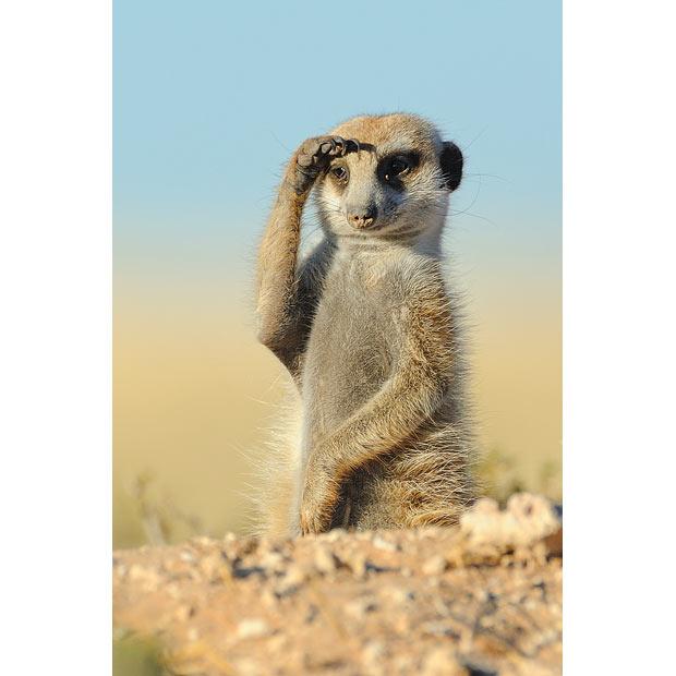 meerkat_1616897i