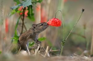 flower-scent-loving-mouse