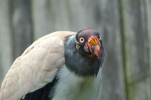 king_vulture