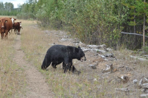 Sore Bear 12