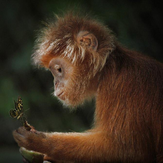 Golden_Monkey_Photography_by_Irawan_Subingar_