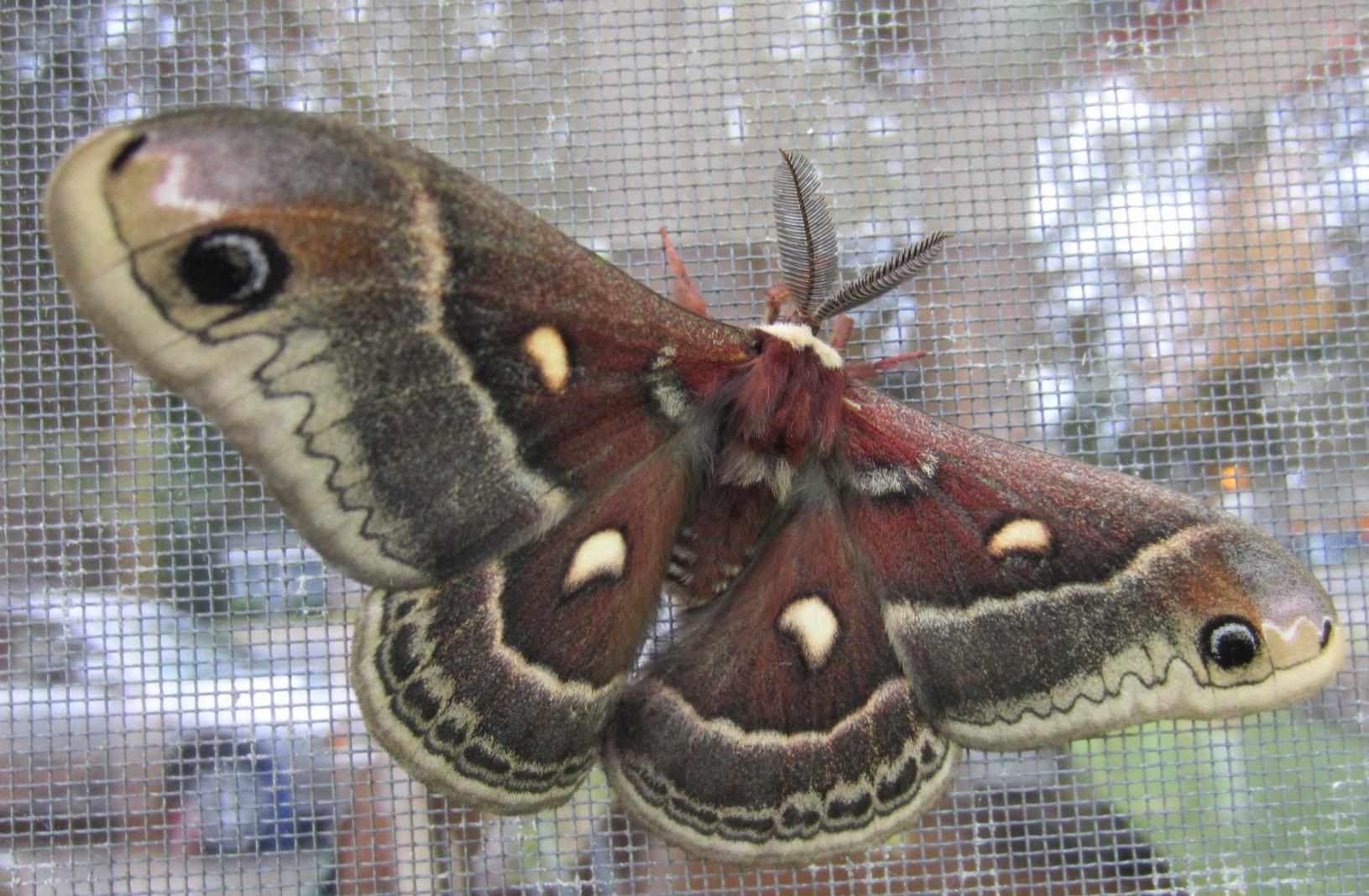 mothtop1