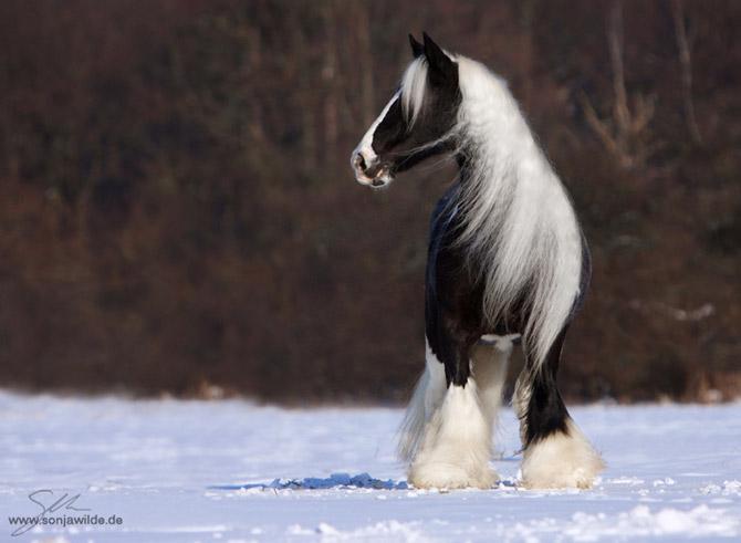 Beautiful_Horses_by_Vikarus_2_7