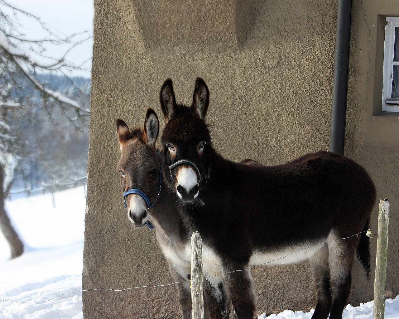 Cute-Donkeys-donkeys-25772312-1280-1024
