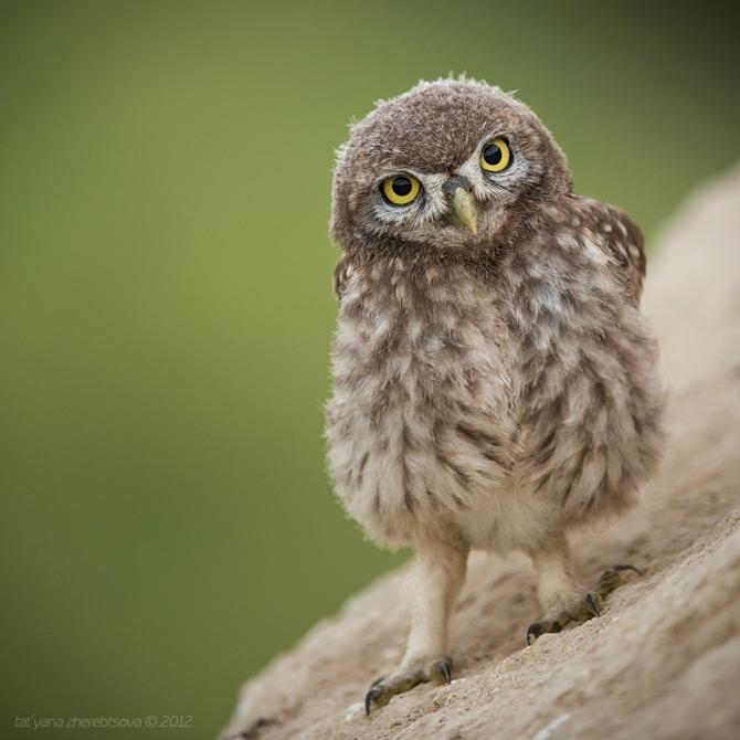 Little_Owls_Photos_by_Tat'yana_Zherebtsova_4