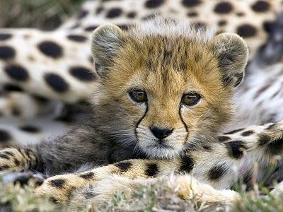 baby_cheetah-5260