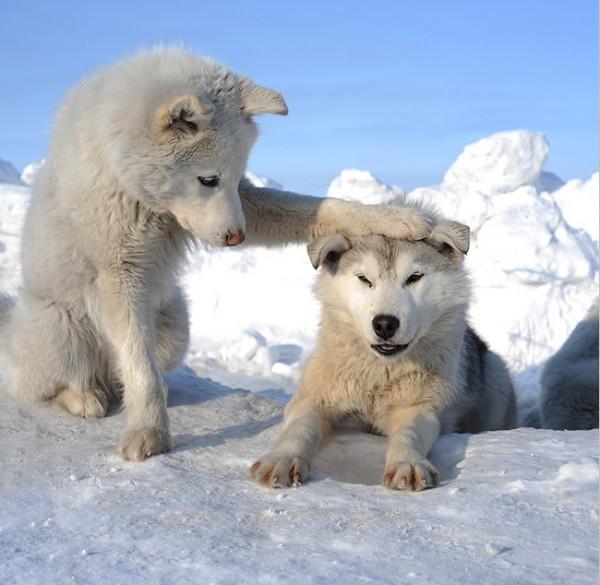 white-wolf-pups-600x585