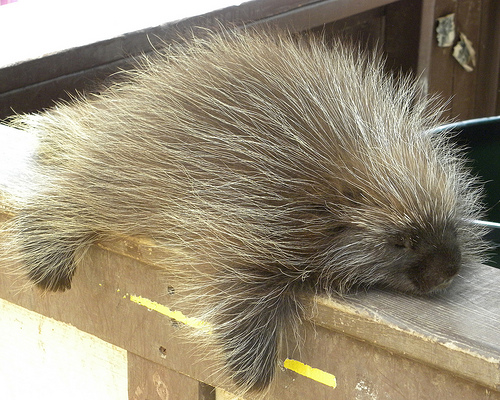 3760868411-cute-porcupine-guy