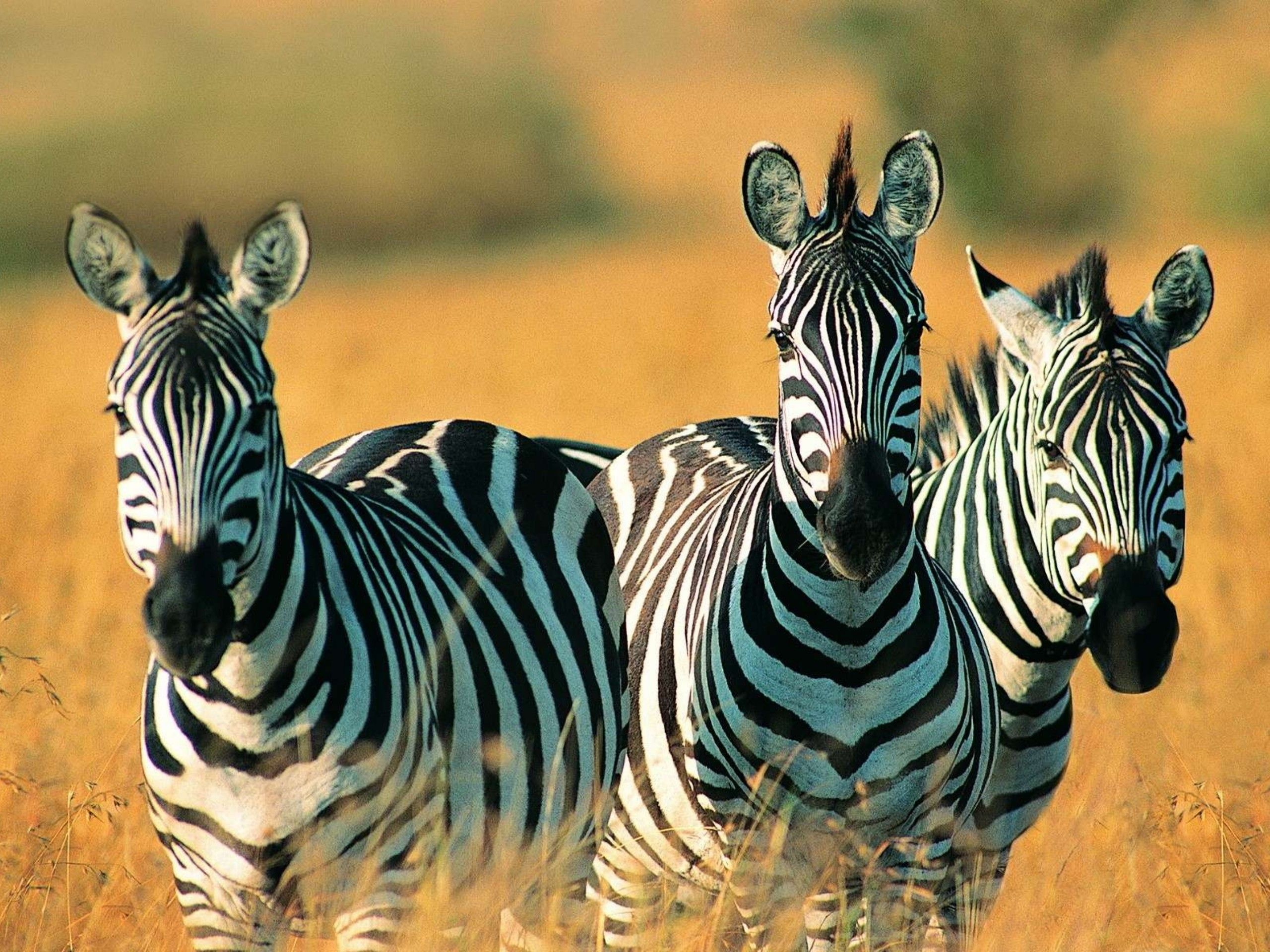 Animal-Cute-Zebra