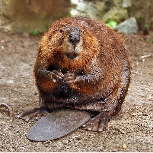cute_beaver-9235