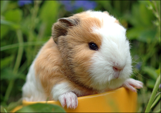 guinea-pig-language-sound