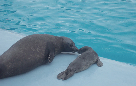 harbor_seal