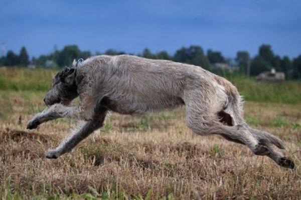 Irish Wolfhound running