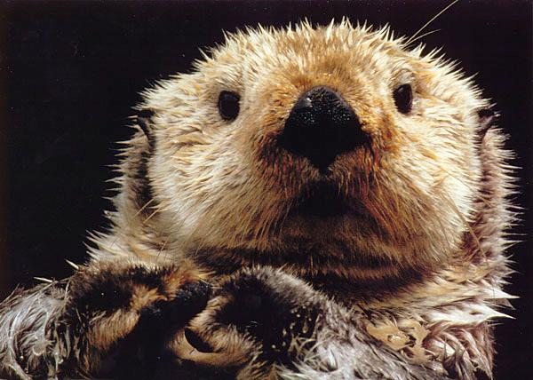looking-otter