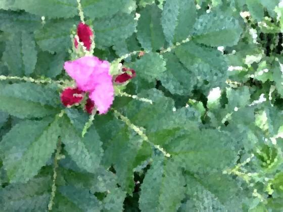 rose_imp