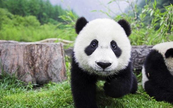 Cute-Panda-Bears-animals-34915025-2560-1600