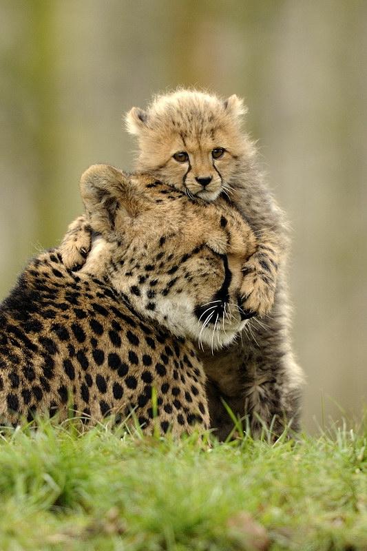 baby_gepard_1