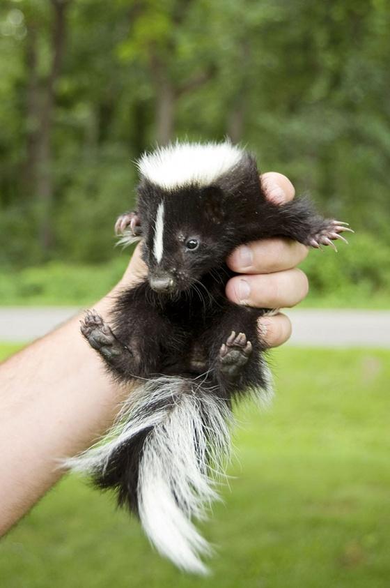 baby_skunk