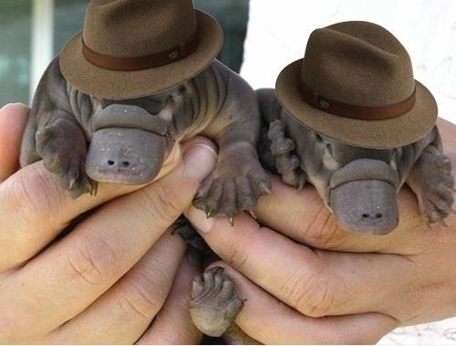 Here is a photo of two baby platypuses wearing fedoras. You're welcome. - Imgur
