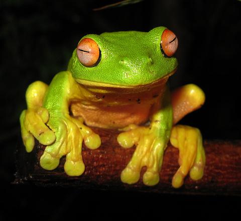 Red-eyed_Tree_Frog_-_Litoria_chloris_edit1