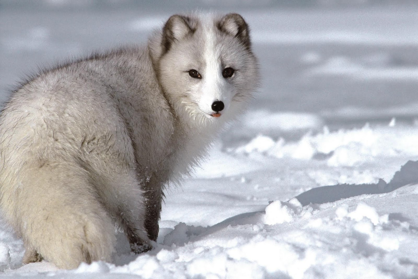 cute wolves desktop wallpaper