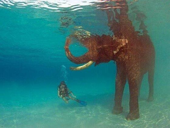 elephant_swimming