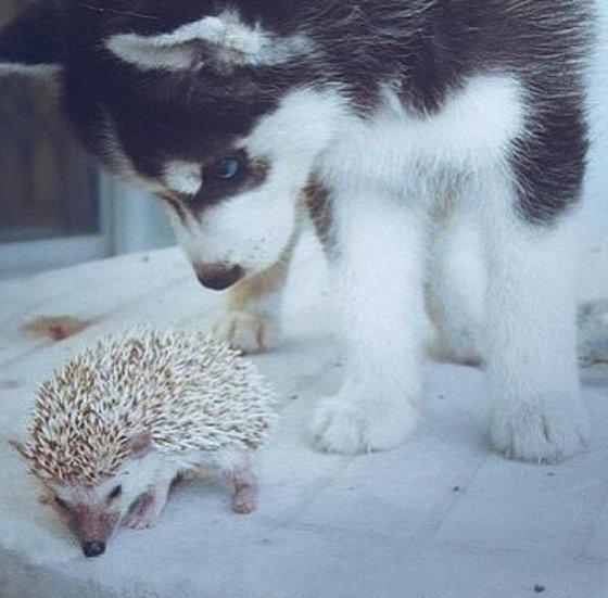 hedgehog_huskie