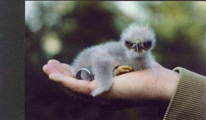 baby_bald_eagle
