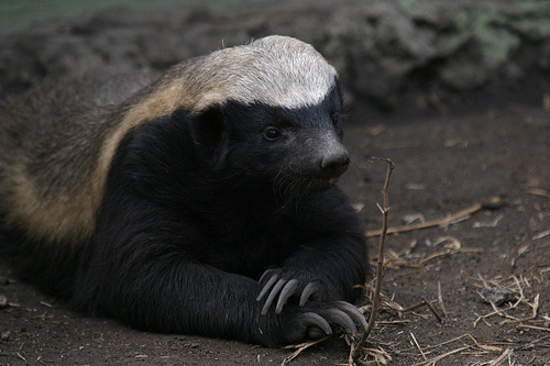 honey_badger