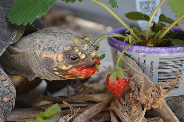 turtle_strawberry_face