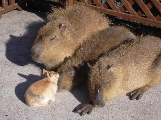CapybarasNapping