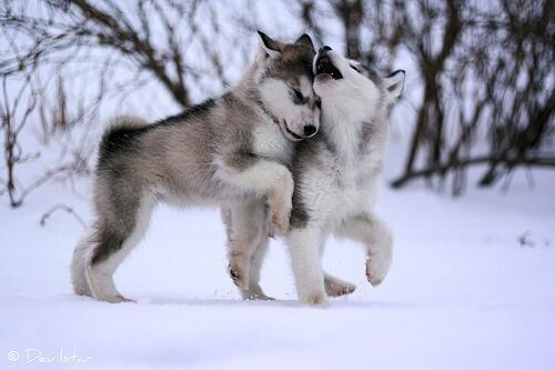 huskies_snow