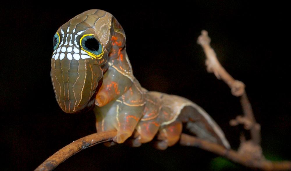 Phyllodes-imperials-caterpillar