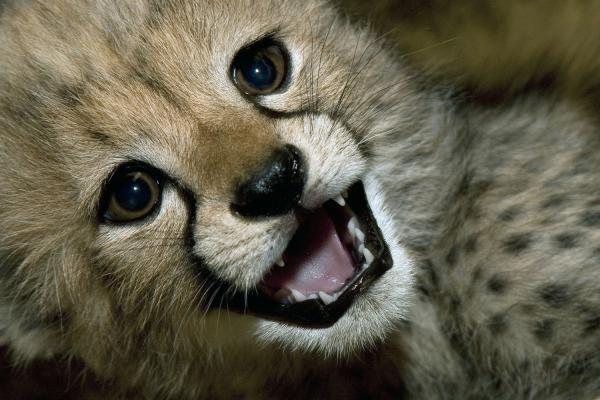 Cheetah-cub-at-San-Diego-Zoos-Wild-Animal-Park