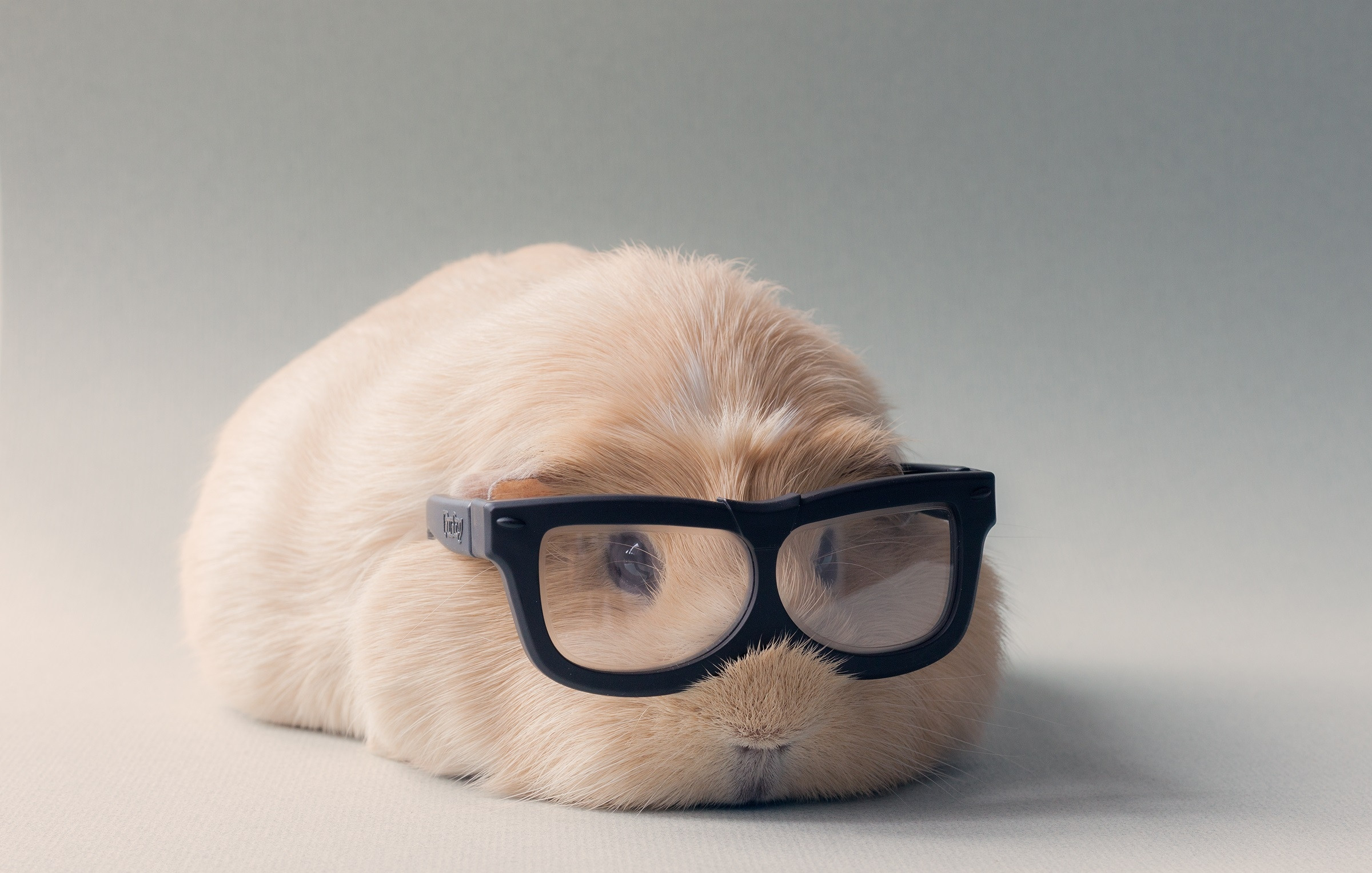 Links Guinea Pig with glasses
