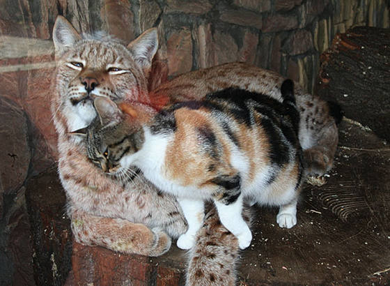Links calico cat butting head with lynx