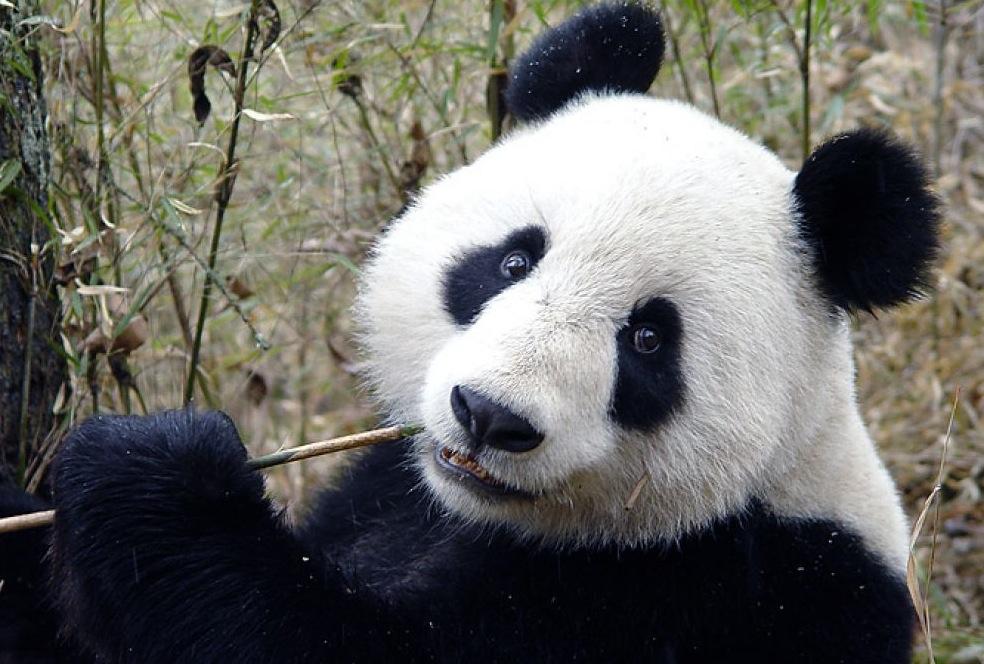 Link panda pi