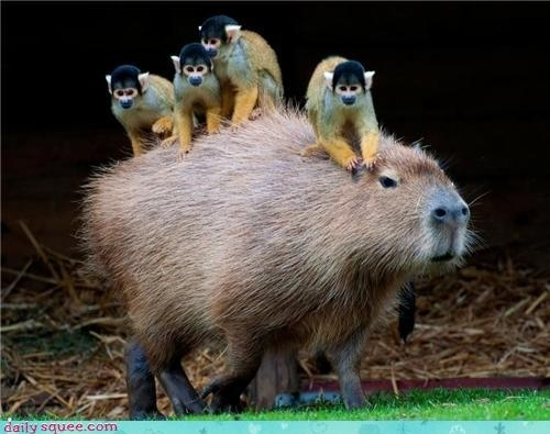 Links capucins riding a capybara