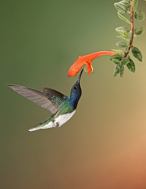 white_necked_jacobin_300