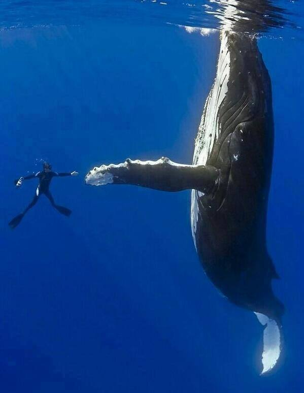 Links whale high-fives diver