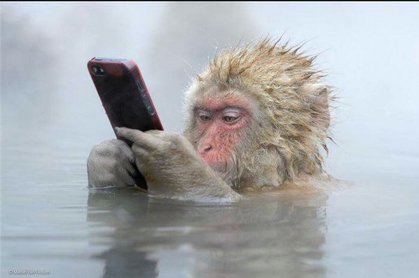 Links Monkey in steaming water studying mobile phone