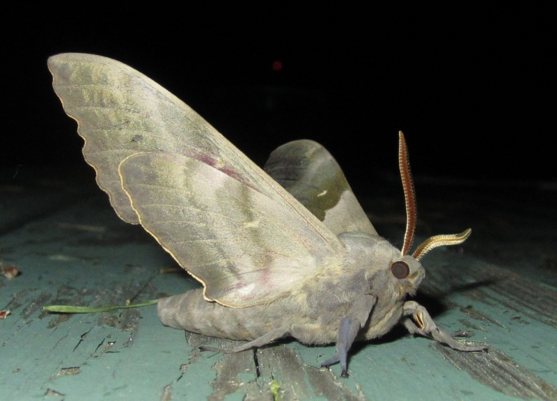 Links really big pretty moth