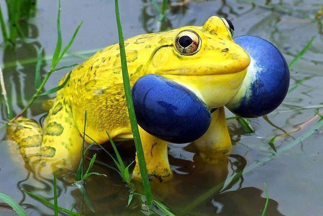 LInks yellow frog